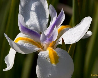 African Iris Flower Essence - Self-Expression, Creativity, Power of Three, Unblock Old Patterns, Heal Procrastination