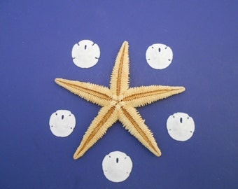 Sealife Sampler: Large Tan Starfish and 5 Real Sand Dollars Beach Decor Crafts