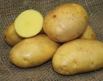 1 lb German Butterball SEED POTATOES