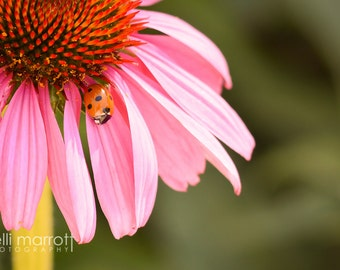 Echinacea Lady Bug - Color