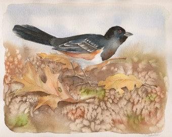 Spotted Towhee Watercolor, Original Watercolor