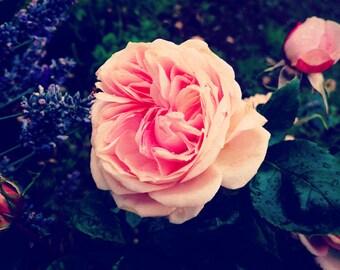 Rose and Lavender Print