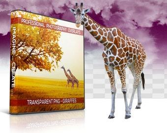 20 Giraffes Transparent PNG Animal Overlays, Photo Overlays, Photoshop Overlay, Photography Background, Digital Background, Digital Backdrop