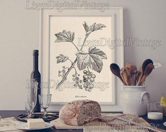 Kitchen print, Berry print, Red currant, Kitchen print vintage, Antique botanical print, Instant download, 8x10 wall art, 11x14, A3, JPG PNG