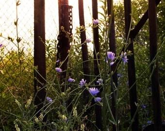 Wild Chicory Fine Art Photography Print