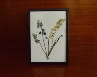 Pressed Flowers / California Lupine