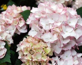 Digital Download of Blush Color Hydrangeas