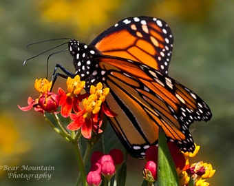 Butterfly Photography: Monarch Butterfly, Fine Art Photography, Butterfly, nature photography