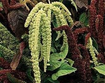 Green Amaranthus Caudatus Flower Seeds/Annual   75+
