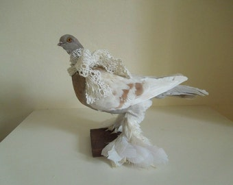 Lahore pigeon taxidermy