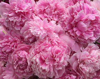 Fresh Pink Peonies! Alaska Grown+Free Shipping (July or August Delivery)