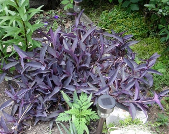 Purple heart tradescantia (wandering jew) plant 7x of 8inch cuttings