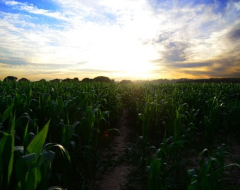 The Corn Field Path