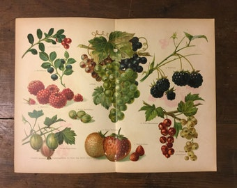 Illustration of Berries and Grapes from 1889 German Book