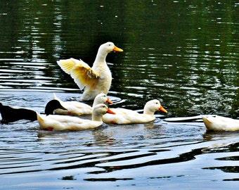 Domestic Ducks on Pond Photograph