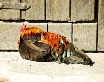 A Beautiful Rooster