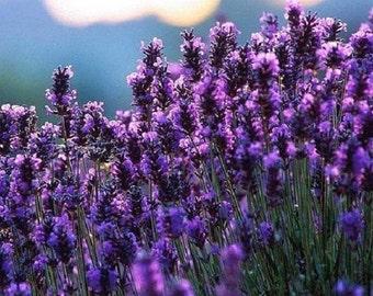 60+ Lavender Lavendula / Perennial Flower Seeds