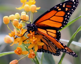 Monarch Butterfly Photograph, Nature Photography