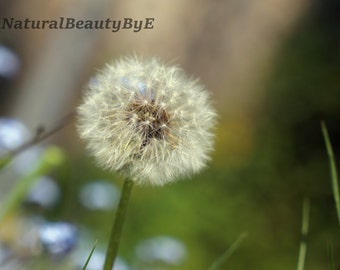 Dandelion, some see a weed, some see a wish, spring flowers, white fluff, pretty, nature photography, flower photography, wall art or print
