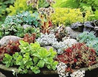 Sedum Mixed 50 Seeds, stonecrop,-Many varieties in one packet