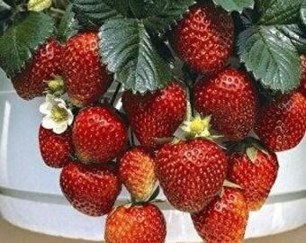 Strawberry Temptation Cascading 20 Seeds