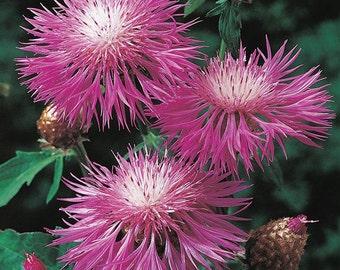 Persian Cornflower Seeds / Centaurea dealbata / Whitewash Cornflower