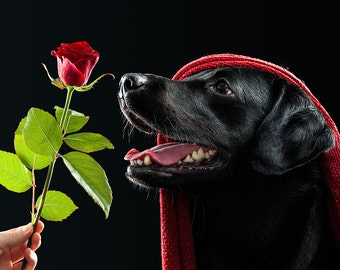 Photography Print- Black Labrador smelling a Red Rose