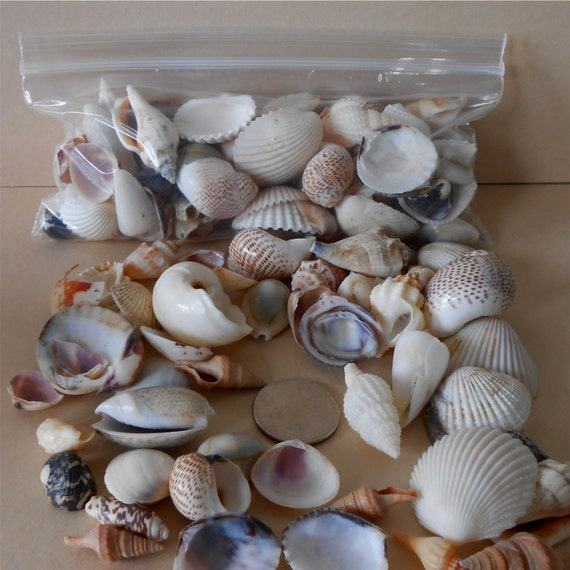 Small sea shells for craft or jewelry small assorted sea for Tiny shells for crafts
