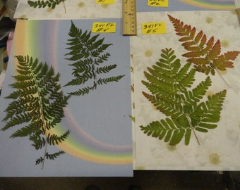 Choose your Real Fern Grown in Alaska Pressed, Preserved, Dried 341 FL