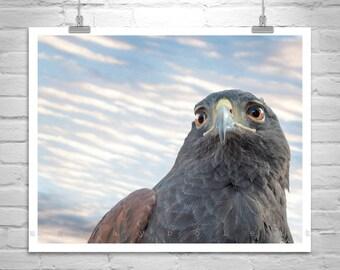 Wildlife Photography, Hawk Bird Print, Harris Hawk, Nature Photography, Art for Bedroom, Living Room Art, MurrayBolesta, Tucson Arizona