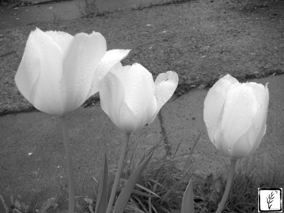 Tulips, flowers, floral, B&W Photograph, fine art, photo print, wall art, home decor, flower, Spring, street, sidewalk, city, haiku
