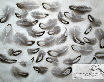 """Feathers Black White Feathers Real Bird Feathers Small Plumes Natural Silver Laced Wyandotte Hen Feathers For Crafts 30 @ 1.5 - 2.5"""" / 1358"""