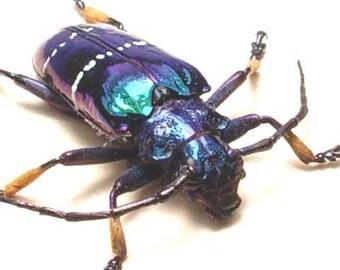 Rare Sphignotus Mirabilis Longhorn Real Framed Beetle 2540