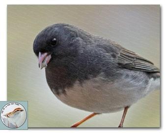 Gray Bird Photograph 8x10 Fine Art Photo of Dark Eyed Junco Closeup View Songbird Art Neutral Wall Decor Gift for Bird Lover Under 30