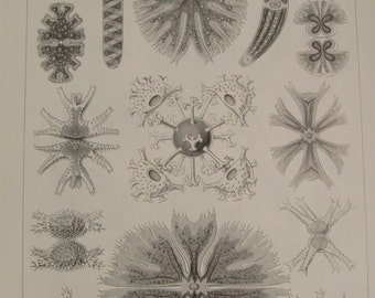 Vintage 1974 Bookplate, Ernst Haeckel, Algae/Moss Animals, Book Page, Black and White Print, Wall Decor, Sea Life Print