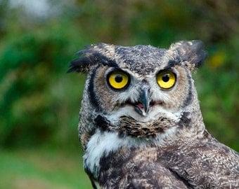 owl photo, great horned owl, wildlife photography print, animals nature close up, bird of prey, intense eyes, fine art, home decor, wall art