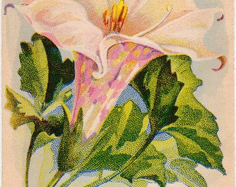 DATURA! (Mixed) (ANGELS TRUMPET)!!!!! Vintage Flower Seed Packet Tuckers Seed House Lithograph (Carthage, Missouri)