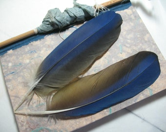 """8"""" Scarlet Macaw Parrot Feathers Wing Cobalt Blue, Touch of Red on Back Spine"""