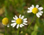 German Chamomile Herb Seeds