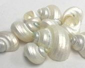 "Seashells - 10 Silvermouth Turbo Shells - 1""-1.25"" (openings are 1/2"" to 3/4"") bulk shells sea shells seashells"
