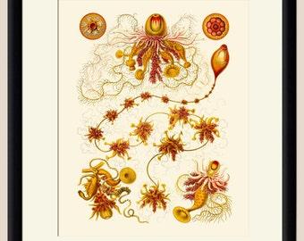 Ernst Haeckel Sea Creatures 1 - Art Print - Nautical Illustration Wall hanging - Beach Decor Wall Art Vintage Illustration Poster