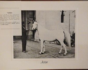 Vintage Crabbet Arabian Horse Art Print - Aziza
