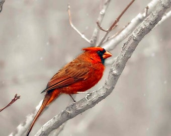 Cardinal Photo, Red, Gray, Bird Print, Rustic Cabin Decor, Nature Photography, Northern Cardinal