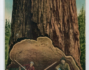 Felling Lumber Logging Tree Pacifc Northwest 1910 postcard