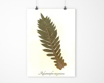 Real Pressed Bear Paw Fern - Pressed Botanical Art - Herbarium Specimen