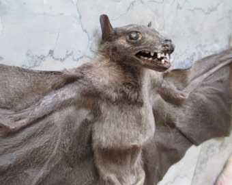 "22"" Giant Flying Fox Bat Specimen - SHIP FREE"