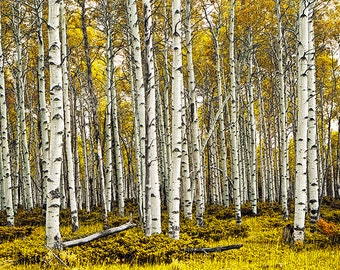 Birch Tree Forest Panorama in Autumn Neg 48 Pano 3- A Panoramic Fall Landscape Photograph