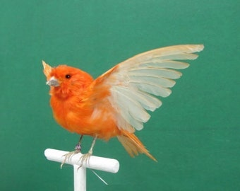 Wings Up Perched Red Canary Real Bird Taxidermy Mount with Perch Included