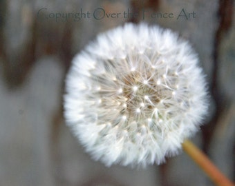 Flower Photography Dandelion Blowing in Morning Wind blank photo card