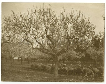 Sheep Herding - Vintage Glossy 8x10 Photograph